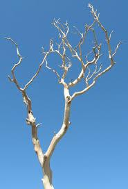 Manzanita Branches | Sanded Sierra Natural Manzanita 18-26in