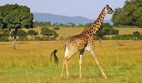pictures of a giraffe. Beautiful Pictures With Pictures Of A Giraffe R