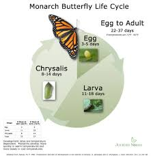 Chart Monarch Butterfly Life Cycle