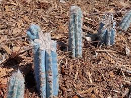 Tips For Growing Pilosocereus Cacti