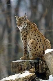 lynx size eurasian lynx wikipedia