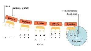 Translation or protein synthesis