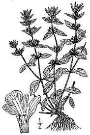 Sideritis romana - Wikipedia