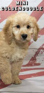mini goldendoodle golden and poodle