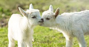 Goats Like It When You Smile at Them, Science Says