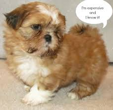 Tashi the Shih Tzu   Puppies   Daily Puppy Dogtime