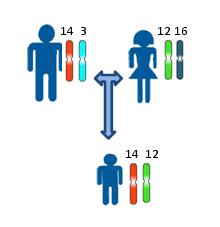 Генетическая экспертиза днк тест по установлению отцовства или  Принцип установления отцовства или материнства по наследованию одинаковых аллелей аутосомных локусов Различными цветами и