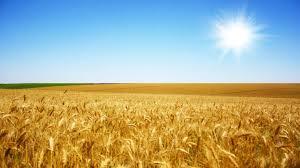 Resultado de imagen de campo de trigo