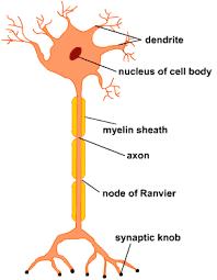 Image result for nervous system diagram