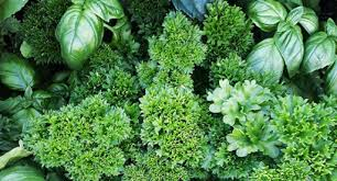 herb growing guide tui planting