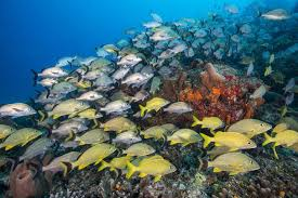 Common Reef Fish Of Florida And The Caribbean