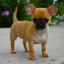 teacup pug full grown.  Pug Pug Chihuahua Mix Puppy Intended Teacup Pug Full Grown 8