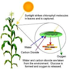 images about photosynthesis on pinterest   photosynthesis    chlorophyll diagram   this lesson will attempt to help you understand what happens to matter