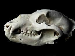 Small Animal Skull Identification Chart Animal Skull Identification Guide Waking Up Wild Waking