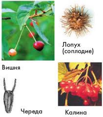 Распространение плодов и семян Биология Плоды распространяемые животными
