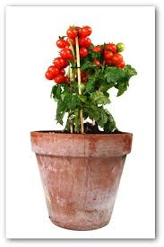 534 Best Container Vegetable Gardening Images On Pinterest Container Garden Plans Tomatoes