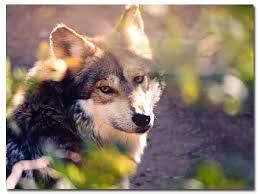 grey wolf size mexican gray wolf canis lupus baileyi desertusa
