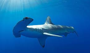hammerhead shark bite. Modren Bite To Hammerhead Shark Bite