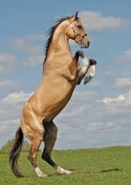 """Résultat de recherche d'images pour """"cheval akhal téké jeux olympiques"""""""