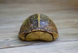 common box turtle terne ina