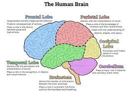 Brain Chart Image Result For Brain In 2019 Human Brain Diagram Human