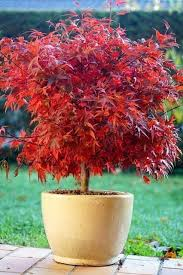 potted trees japanese maple tree