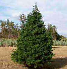 Image result for virginia pine trees