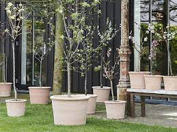 trees for patio pots and small gardens