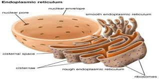 Endoplasmic Reticulum Endoplasmic Reticulum Assignment Point