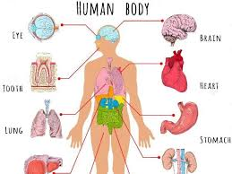 Organs In The Human Body Human Body Organs