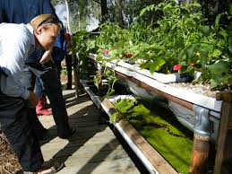 5 great fish options for your backyard aquaponics system milkwood permaculture courses skills stories