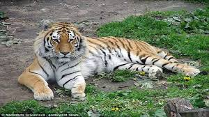 Zookeeper mauled by tiger in Russia thought she would die - YouTube