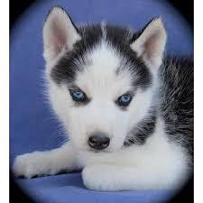 baby husky with blue eyes cute. Beautiful Cute On Baby Husky With Blue Eyes Cute U