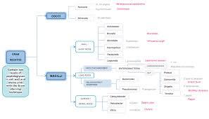Bacteria Classification Gram Negative Bacteria Almostadoctor