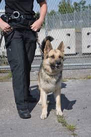 become a police dog handler 2017 how2become com istock 000006440560 medium 1