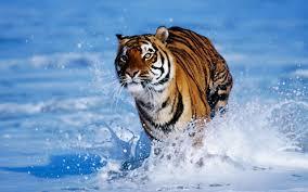 tiger wallpaper desktop. Modren Desktop Tiger Wallpaper For Desktop Intended C
