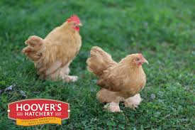 Cochin Chicken Color Chart Hoovers Hatchery