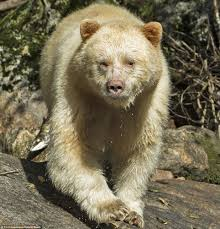 grolar bear size extremely rare white kermode bears spotted by photographer in