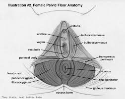 female pelvic floor