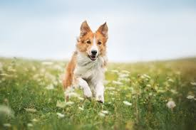 Red border collie dog running in a ...
