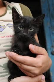 курсовая по оперативной хирургии кастрация кота Кот и Кошка о поведении британская кошка