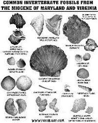 Fossil Identification Sheets New York Maryland Virginia