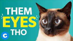 8 Things Only <b>Siamese Cat</b> Owners Will Understand | Chewy ...