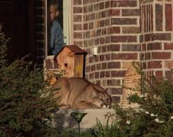 front door stepsA Cougar Decided To Take A Nap On The Front Door Steps 7 pics