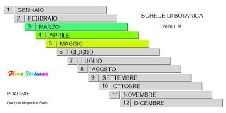 Dactylis hispanica [Erba mazzolina comune] - Flora Italiana