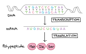 And translation worksheet and transcription worksheet dna mrna amino acid. Dna Transcription And Translation Genetics Quiz Quizizz