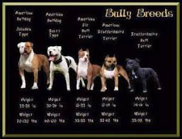 Staffy Puppy Weight Chart The Misunderstood Staffordshire Bull Terrier Loving My Dog