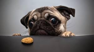 pug puppy wallpaper. Delighful Puppy Cute Pug Puppies Animals Desktop Wallpaper To Puppy T