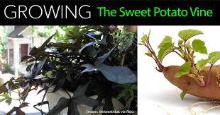 sweet potato houseplant. Simple Potato Sweet Potato Vine With Houseplant