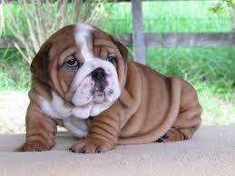 english bulldog puppies picture montana